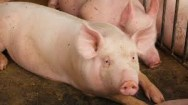 Aprenda Fácil Editora: Necessidades nutritivas dos suínos