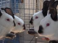 Aprenda Fácil Editora: Conheça algumas vantagens da criação de coelhos