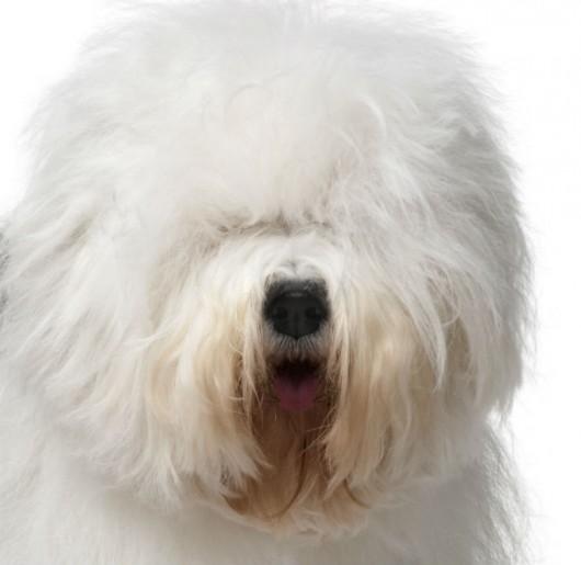 Raças de cachorro - Old English Sheepdog (Bobtail)