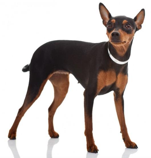 Raças de cachorro - Pinscher (Deutscher Pinscher)