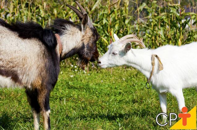Como escolher bodes e cabras para a reprodução de caprinos   Artigos Cursos CPT