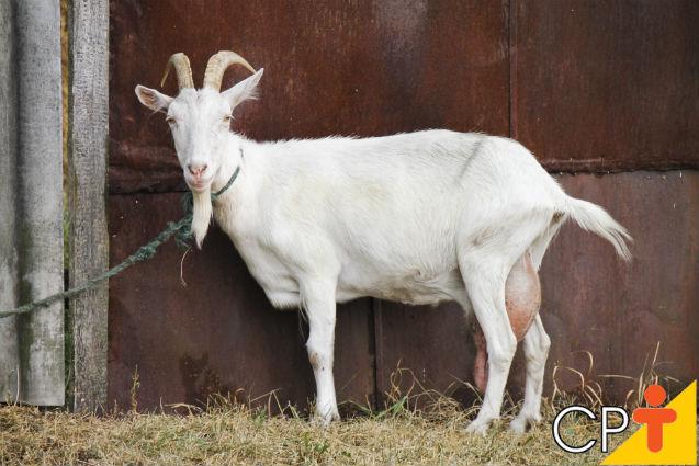 Como escolher cabras para a reprodução de caprinos   Artigos Cursos CPT