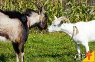 Como escolher bodes e cabras para a reprodução de caprinos