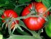 Plantar tomate depende da temperatura, luminosidade e estação chuvosa