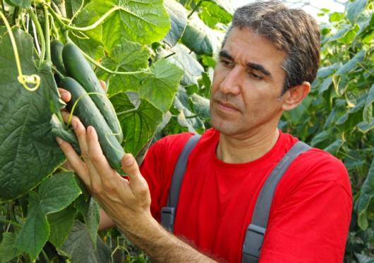 Controle de pragas do pepino: pulgões, brocas e mosca-das-frutas.