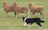 Raças de cachorro - Border Collie