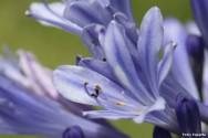 Produção comercial de Agapanto - propagação, cultivo, tratos culturais e cultivo em vasos