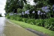 O Agapanto é perfeito na separação de plantas altas em jardins e também para embelezar paredes externas e muros