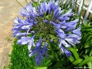 O Agapanto apresenta inflorescências globosas, compostas por inúmeras flores azuladas