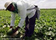 O melhor controle das pragas do meloeiro é a prevenção, por meio de inspeções rotineiras na cultura do melão