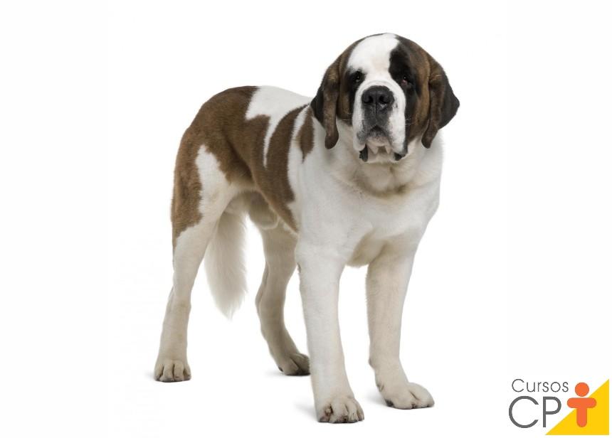 Raças de cachorro: São Bernardo   Artigos CPT