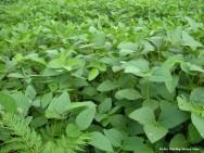 A soja, em todo o seu ciclo, pode ser atacada por mais de 300 espécies de insetos, seja na lavoura ou seja nos nos grãos armazenados