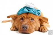 Aprenda Fácil Editora: Primeiros Socorros nos Cães: estado de choque
