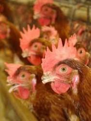 Aprenda Fácil Editora: Avicultura: os efeitos da debicagem