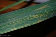 A mancha púrpura é a doença do alho mais disseminada e pode cobrir toda a folha