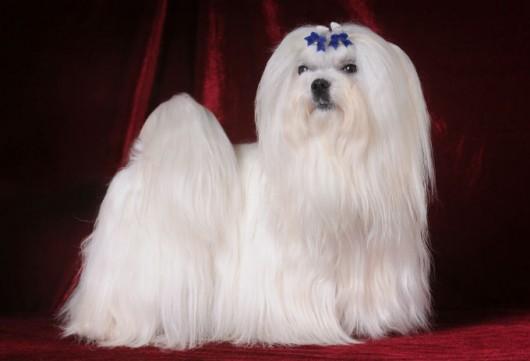 Raças de cachorro - Maltês
