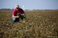 O controle e prevenção da aflatoxina é o principal aspecto relativo à qualidade do amendoim