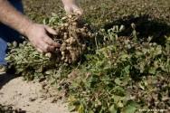Os fungos que produzem a aflatoxina não são patogênicos às plantas, portanto elas não apresentam sintomas do seu ataque