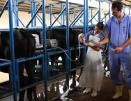 A aspiração folicular por ultrassom permite coletar os ovócitos da vaca viva, otimizando a produção de embriões de elevado valor genético.