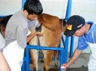 Como fazer aspiração folicular para FIV em bovinos