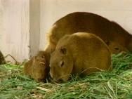 O criador de capivaras deverá dar destinação correta às sobras de alimentos, evitando o aparecimento de roedores