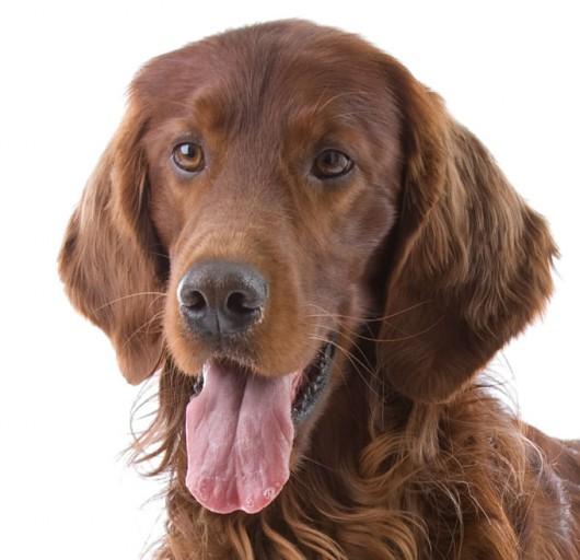 Raças de cachorro - Setter Irlandês Ruivo