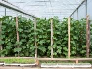 O pepino é uma cultura muito exigente quando à temperatura e a umidade do solo e não tolera solos encharcados. Foto: Reprodução
