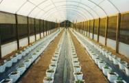 Ao transplantar as mudas, o solo deve ter sido previamente corrigido e adubado. Foto: Reprodução