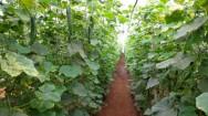 O cultivo do pepino em estufas propiciou um grande aumento de produtividade, além de melhorias na qualidade dos pepinos. Foto: Reprodução