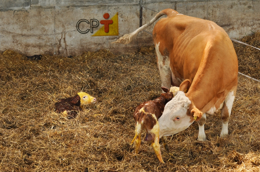 Ciclo produtivo de uma vaca de leite      Artigos CPT