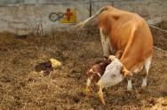 Ciclo produtivo de uma vaca de leite