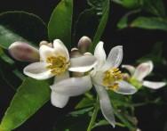 """A lima ácida """"Tahiti"""", também conhecida como limão Taiti, é uma das espécies de citros de maior precocidade. Foto: Reprodução"""