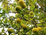 A partir do terceiro ano, a lavoura de limão Thaiti apresenta uma significativa produção. Foto: Reprodução