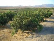Em casos de plantios extensos, torna-se conveniente dividir o pomar em talhões e quadras, utilizando carreadores. Foto: Reprodução