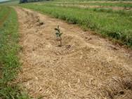 Nos grandes plantios, a prática tem sido a eliminação das invasoras na linha de plantio, usando-se herbicidas ou capina manual e, nas entrelinhas, a roçadeira. Foto/crédito: Agricultura SP