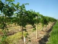 Este tutoramento tem o objetivo de auxiliar a formação de ramos voltados para o alto, impedindo que os frutos encostem no chão. Foto/crédito: Agricultura SP