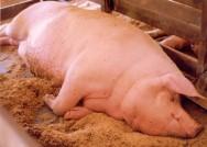 Os suínos ficam mais tranquilos, repousando com mais frequência, quando criados em camas sobrepostas