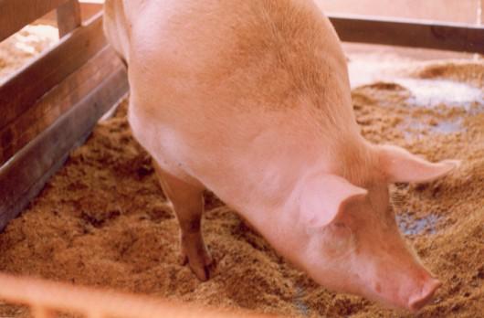 Vantagens da criação de suínos em camas sobrepostas