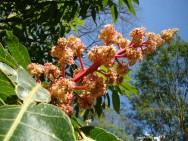Indutores florais artificiais possibilita antecipar ou retardar a colheita. Foto: Mauroguanandi