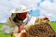 O manuseio dos quadros pelo apicultor exige muita atenção