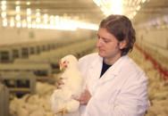 Frangos de corte: escolha do programa de iluminação do aviário