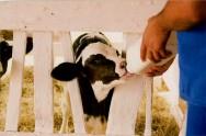 Como alimentar os bezerros para a produção de vitelos