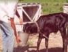 Cria de bezerras da maneira correta pode aumentar o potencial leiteiro