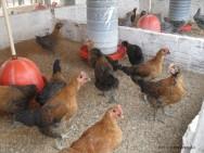 No sistema convencional de criação de frangos, a seleção é direcionada ao ganho de peso rápido, ciclo de vida curto e carne tenra e branca