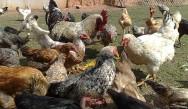 Na alimentação do frango caipira biodinâmico contata-se a presença de elementos minerais, vegetais e animais