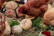 Os frangos caipiras produzem ovos de casca firme e vermelha com gema escura e carcaça de musculatura firme