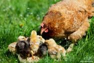 Os frangos caipiras orgânicos são criados livres em todo o ciclo de vida e a alimentação deve ter uma procedência orgânica