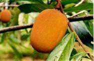 Cupulate é um produto derivado do cupuaçu (Theobroma grandiflorum).