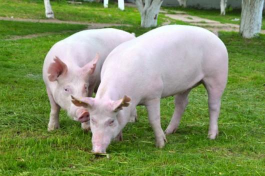 Criação de porcos enriquece o sitiante ao mesmo tempo que enriquece a terra