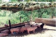 A alimentação racional barateia a produção, facilitando ao criador meios seguros de se obter grandes rendimentos